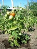 помидор,_томат,_р