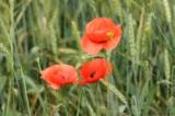 маки,_цветы._поле