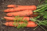 морковь_�