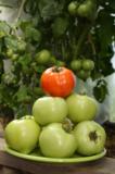 помидоры_помидо�