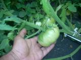 помидор,_томат,_о