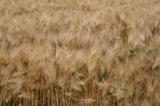 Пшеница,_колосья