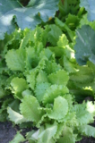 Салат,_растение,_
