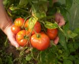 помидор,_томат,_�