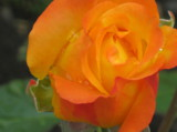 Роза,_Растение,_О