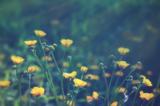 лютик,_весна,_луг