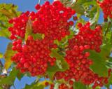 ягоды,_калина,_кр