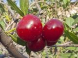 вишня,_ягода,_яго