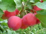яблоки,_яблоко,_ф