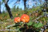 cloudberries,_marsh_amber,_Far
