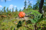 marsh_amber,_Far_East,_Tundra,