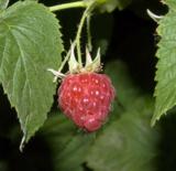 ягода,_малины,_ма