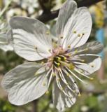 Цветок,_вишни,_ви