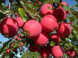 Сад,_осень,_яблок