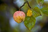 яблоко,_листья,_о