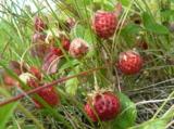 ягоды,_клубника,_