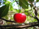 вишня,_дерево,_ст