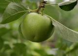 зеленое,_яблоко,_
