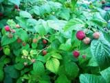 малина,_ягода,_ку