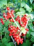 ягода,_смородина
