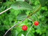 вишня,_ягода,_сад