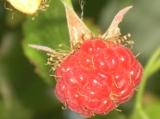 ягода,_малина,_ку