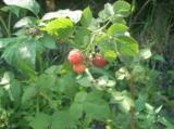 малина,_ягода,_кр