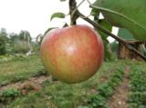 яблоко,_висеть,_в