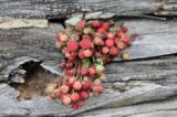 ягода,_ягоды,_сад