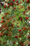 Рябина,_дерево,_я