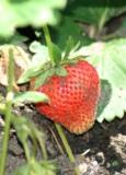 Клубника,_ягода,_