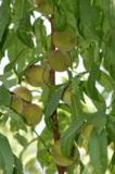 Сад,_дерево,_перс