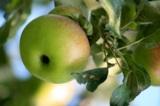 Лето,_сад,_яблони
