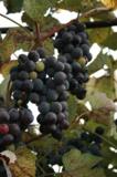 Виноград,_грозди