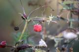 ягоды,_малина,_ос