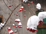 Рябина_в_снегу