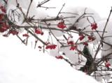 Зимняя_рябина