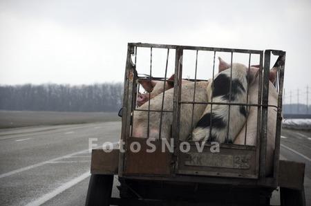 Клетка для перевозки свиньи