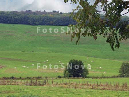 коровы,_пастбище