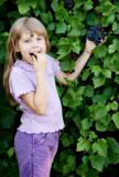 виноград,_синий,_