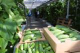 урожай,сбор,овощ