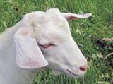 Коза,_молоко,_шер