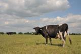 корова,_пастбище