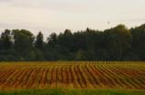 кукуруза_посевы_