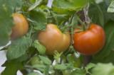 помидоры_томаты_