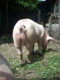 поросенок,_свинь