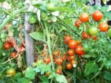 томат,_помидор,_к