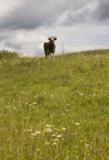 корова,_животное