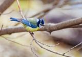 птичка,_синица,_л