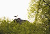 аист,_птица,_весн